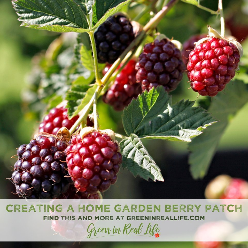 Planning and Planting a Home Garden Berry Patch