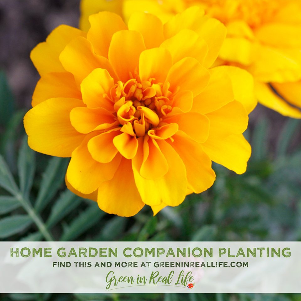 Companion Planting in the Home Garden