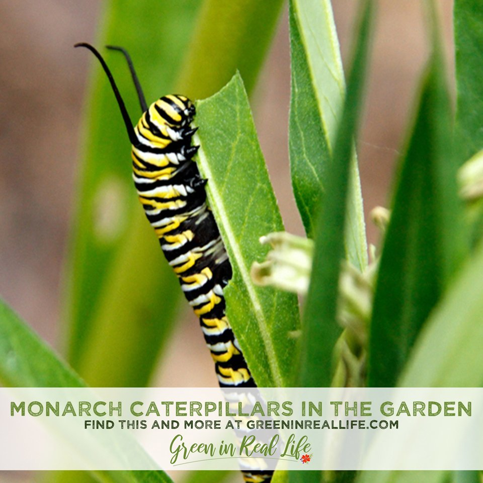 Hosting Monarch Caterpillars in Your Garden