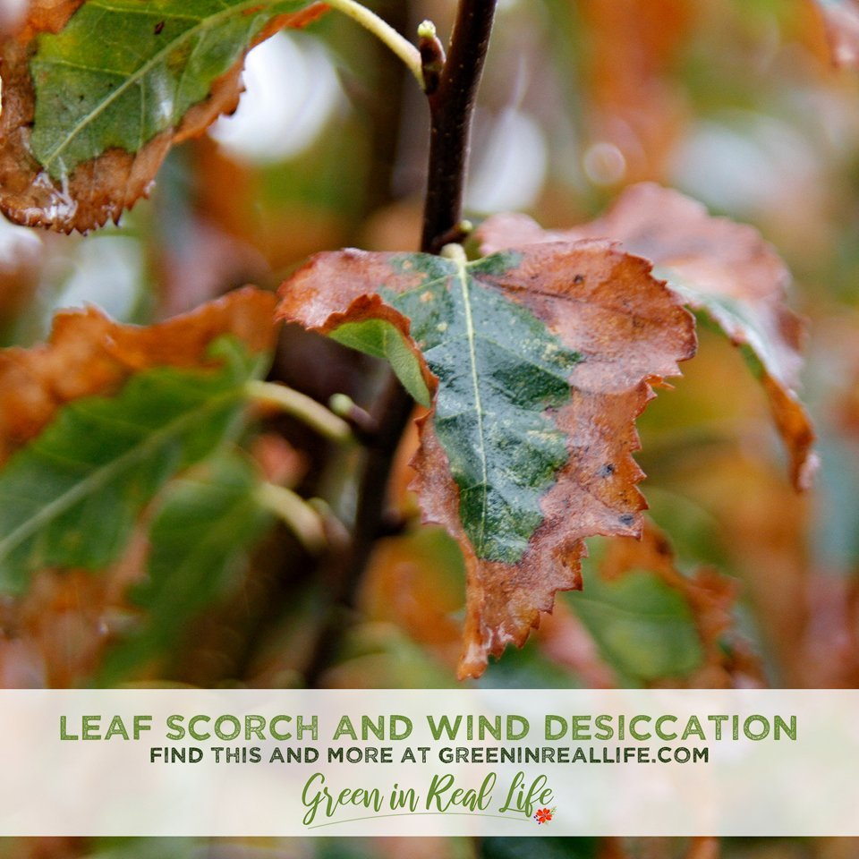 Leaf Scorch and Wind Desiccation Damage