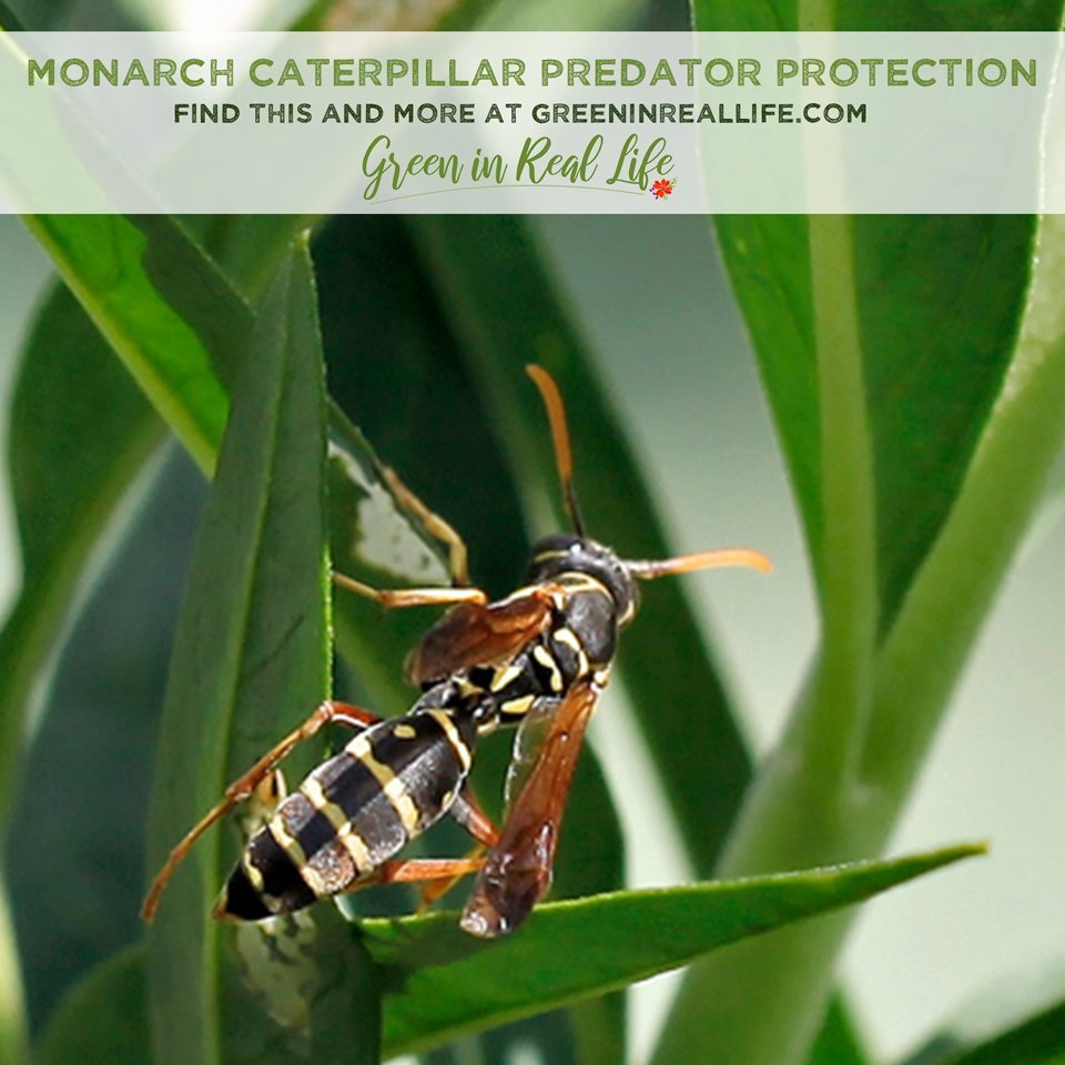 Monarch Caterpillar Predator Protection