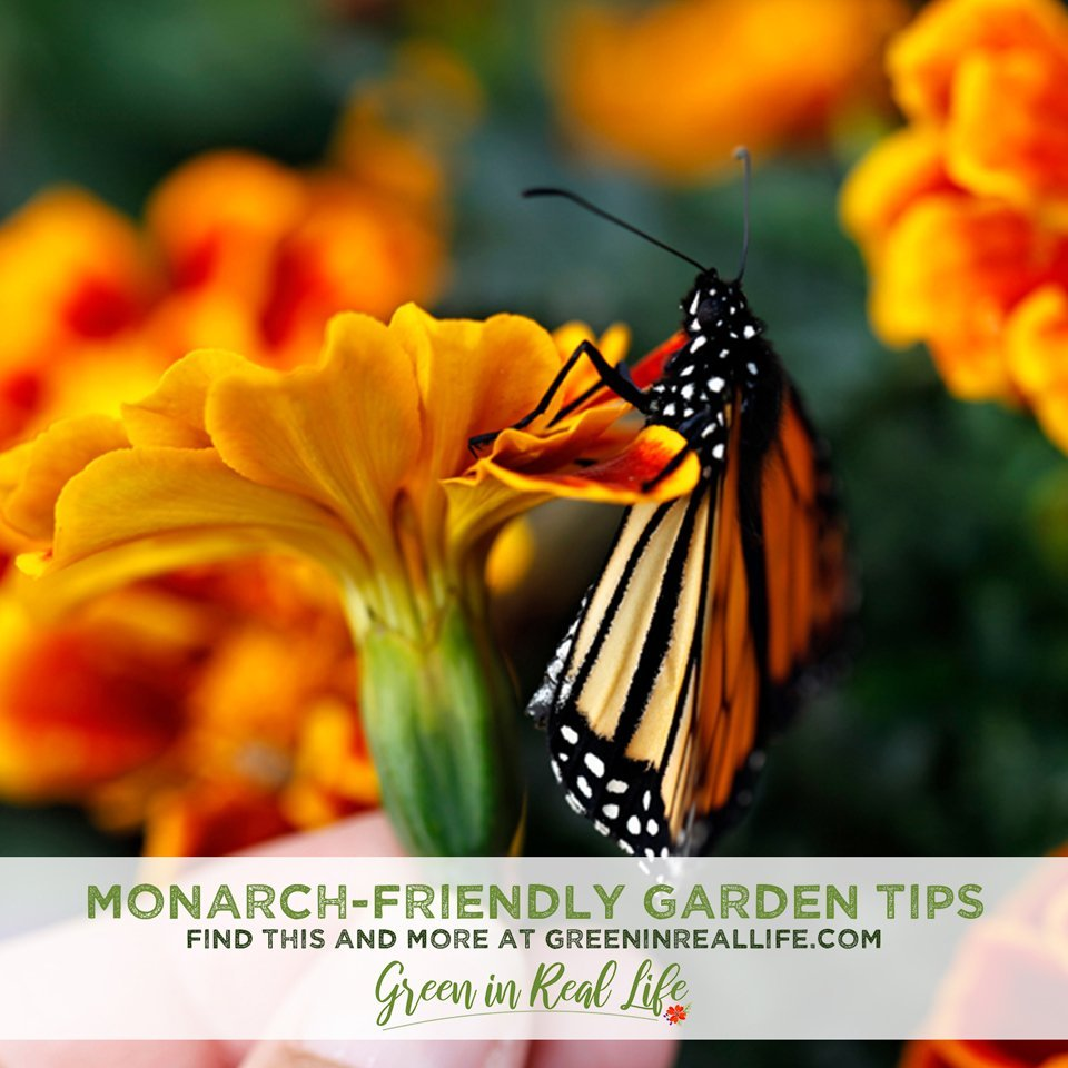 Monarch Friendly Gardening Tips