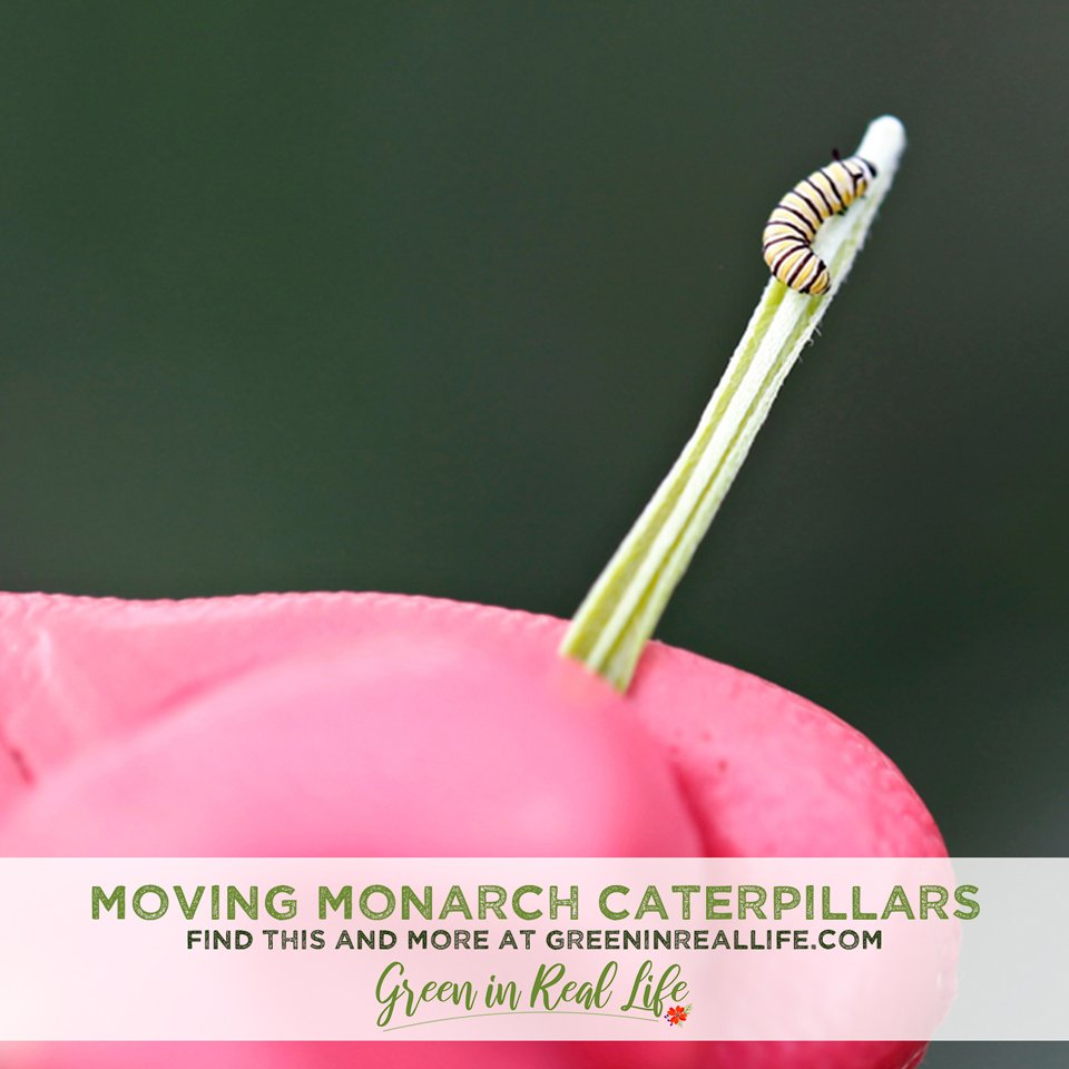 Moving and Relocating Monarch Caterpillars