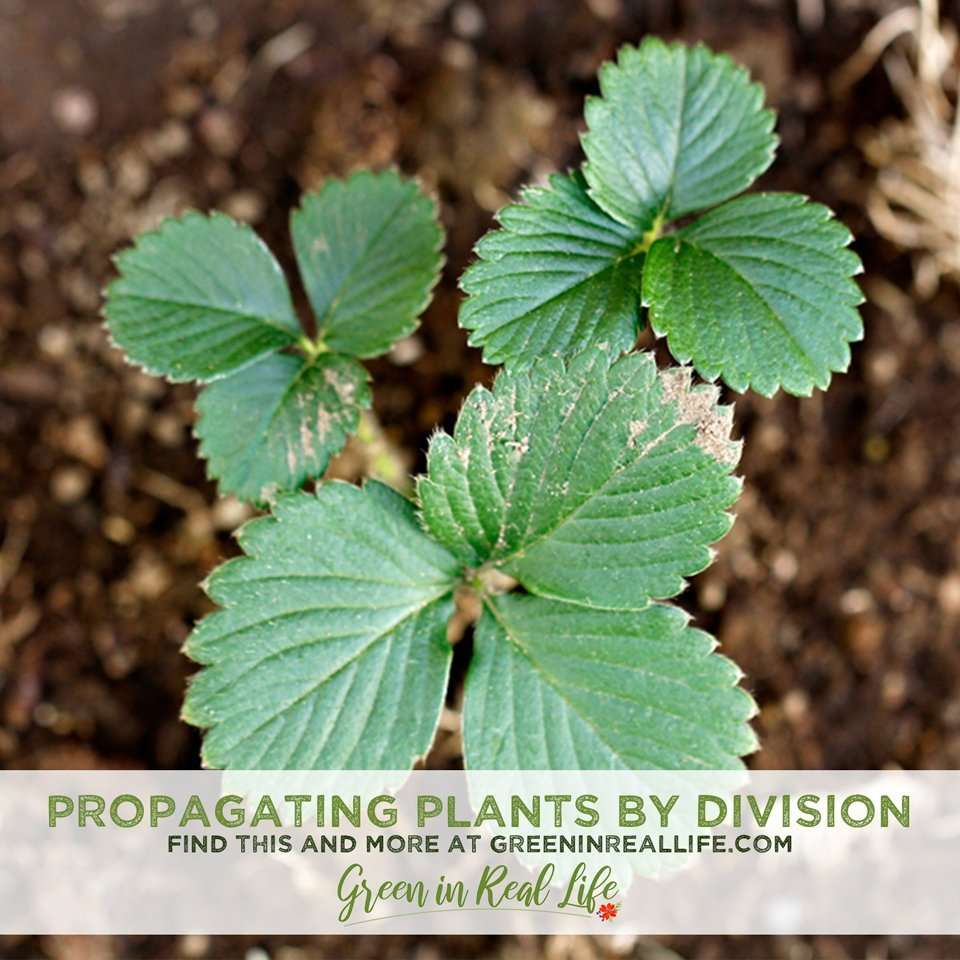 Tips for Propagating Plants by Division