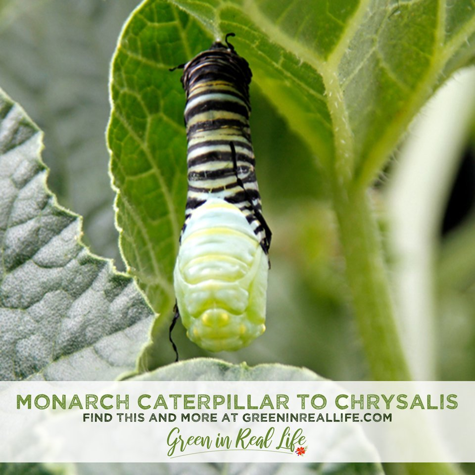 Transforming from Monarch Caterpillar to Chrysalis