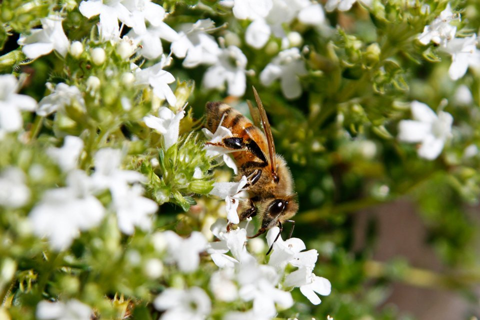 Close up of a bee on white flowering thyme plant