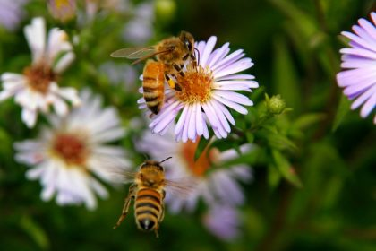 Two bees flying to aster flowers