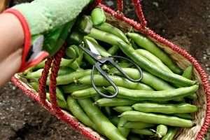 Harvest basket full of broad beans