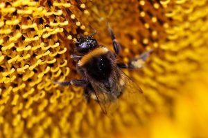 Close up of a bumblebee on a sunflower