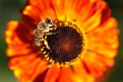 Bee on bright orange flower