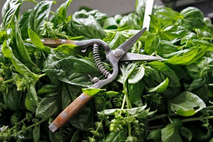Harvested pesto in sink with garden snips