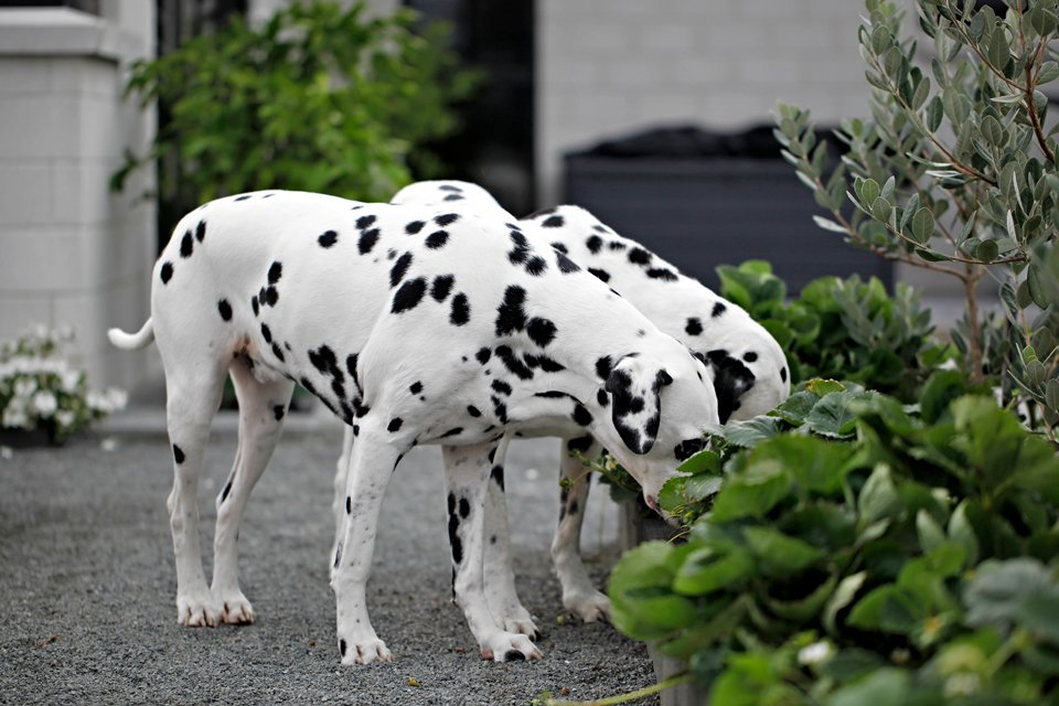 Two Dalmatian dogs sniffing strawberry plants in garden