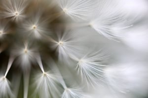 Macro of dandelion seed puffball