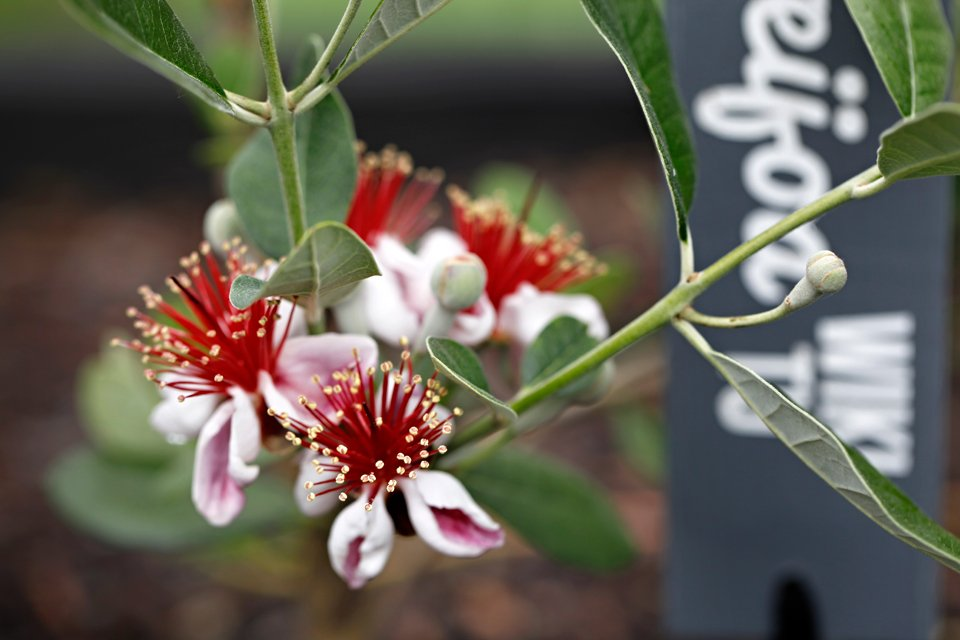 Feijoa blossoms on tree with garden marker in background