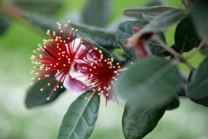 Feijoa blossoms on tree