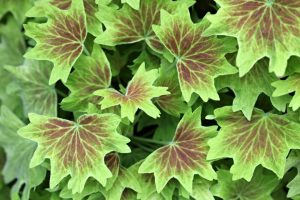 Green and purple plant leaves