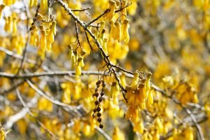 Yellow kowhai flowers on tree