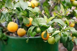 Mexican lime plant with fruit and flowers in a green pot