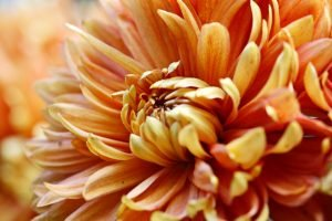 Close up orange dahlia flower