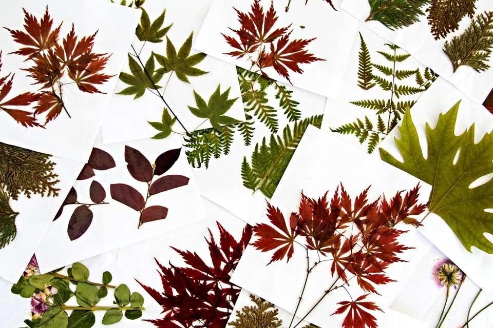 Pressed autumn leaves