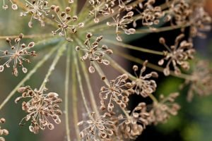 Seed head on dill plant