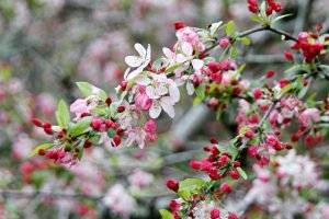 Spring fruit tree blossoms