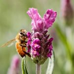 Bee in lavender flower