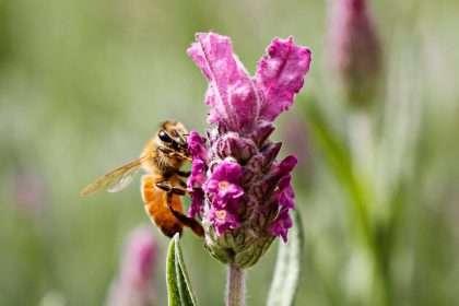 Bee in lavender flower
