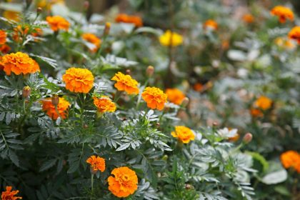 Mass companion planting of orange marigolds