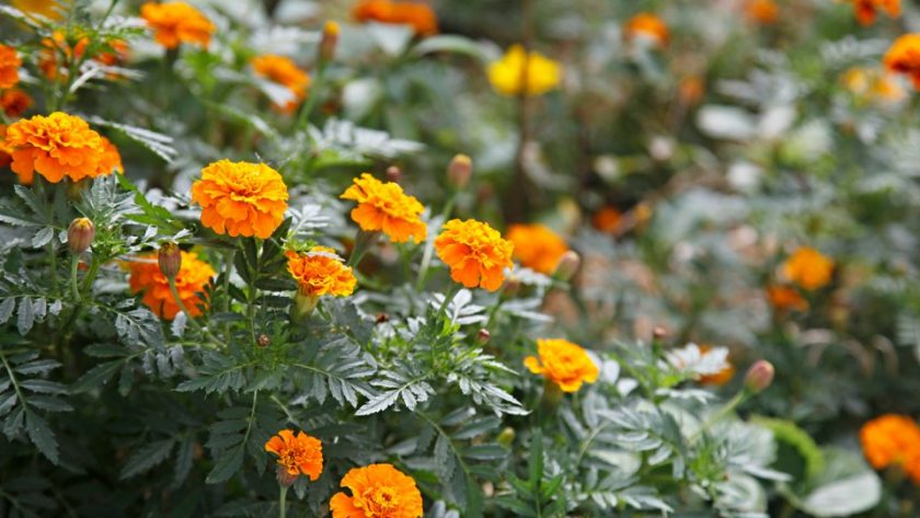 Mass companion planting of orange marigolds