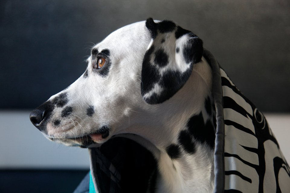 Dalmatian dog wrapped in a homemade t-shirt quilt