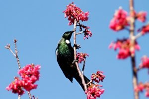 Tui perched on an early flowering cherry tree