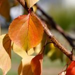 Autumn leaves on apricot tree