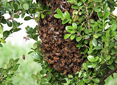 Animals and Insects - Bee swarm resting on box hedge
