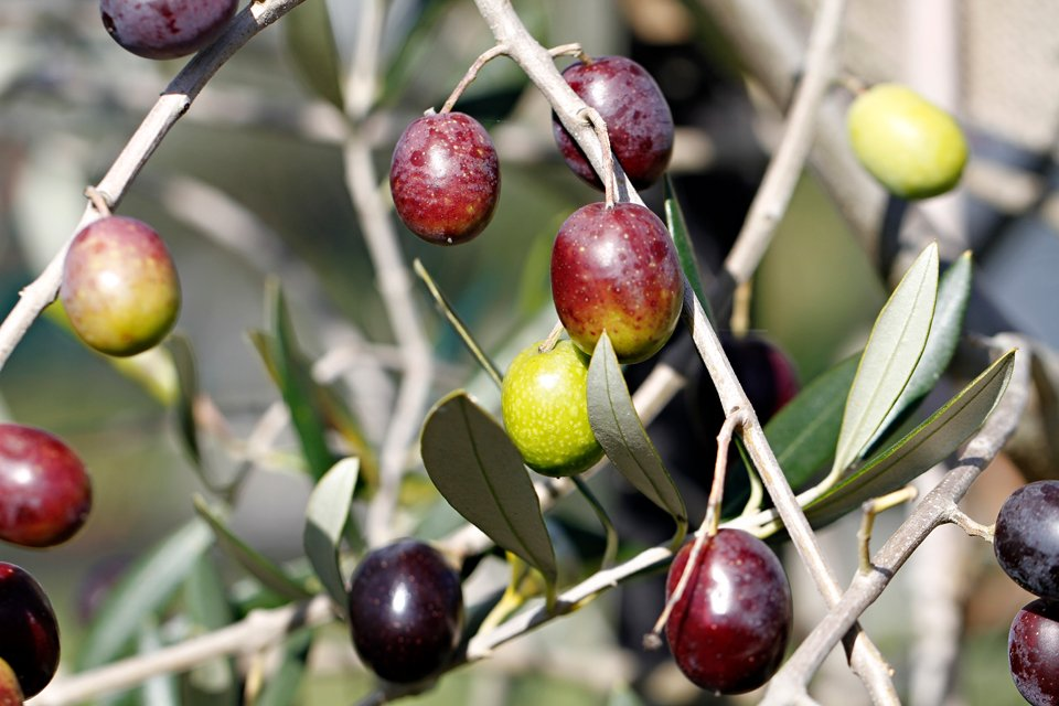 Olives ripening on the tree