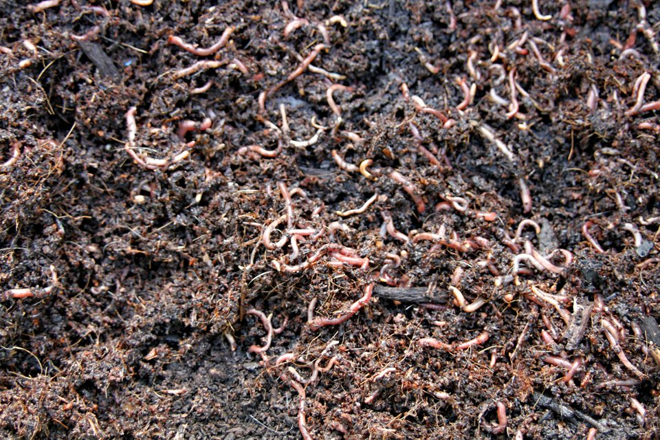 Composting worms in a new worm farm