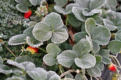 Frost on strawberry plants in the winter garden