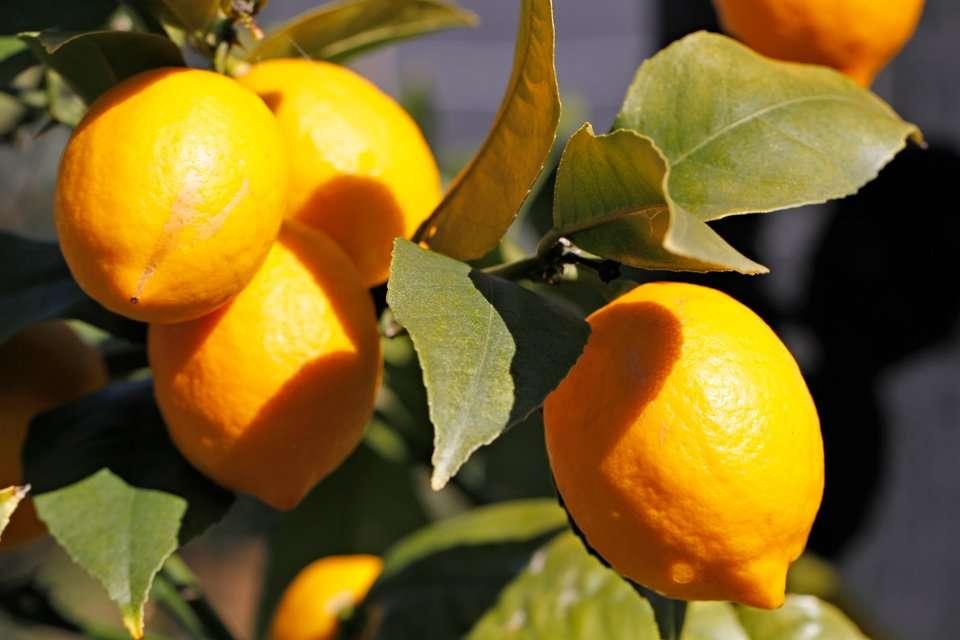 Winter lemons ripe on tree