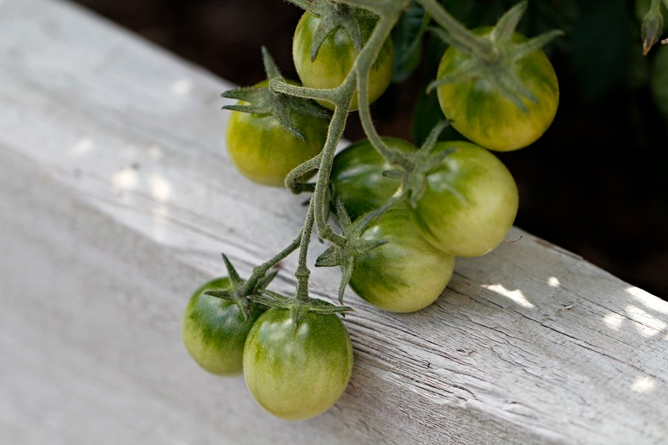 Cherry tomatoes forming on truss in a garden bed