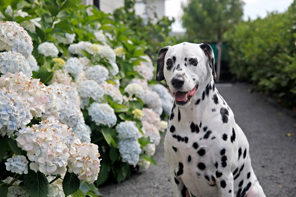 Smiling Dalmatian dog on garden path lined by flowering hydrangea plants