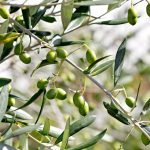 Olives forming on tree in the summer garden
