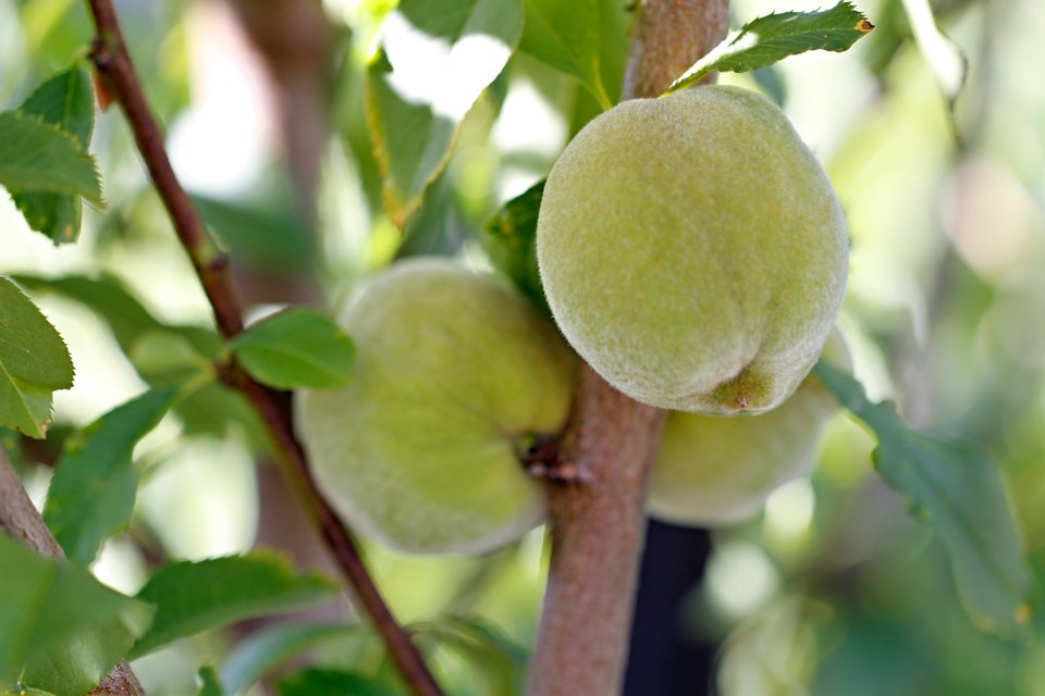 Peaches forming on tree in the summer garden