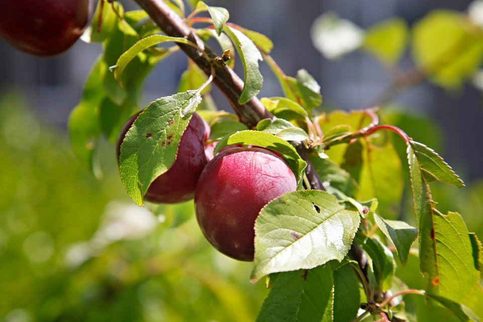 Plums ripening on tree in the summer garden