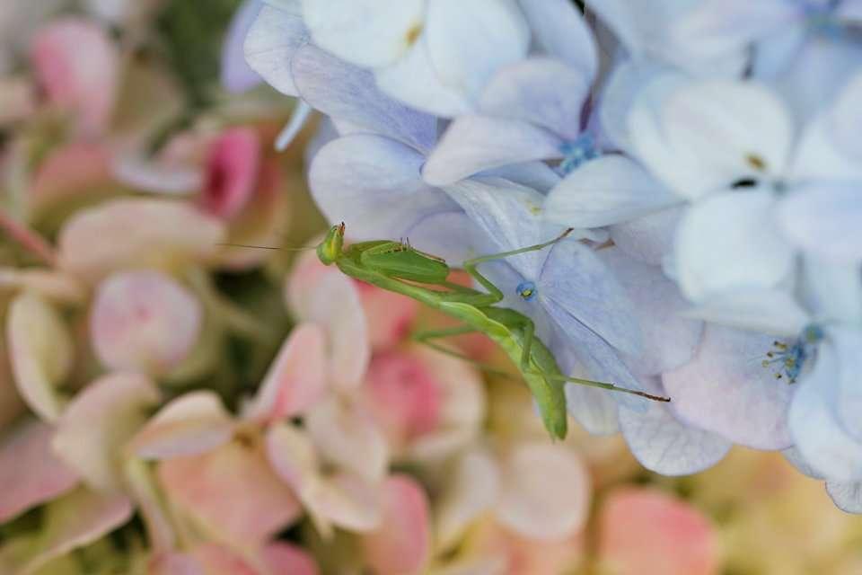 Praying mantis on hydrangea flowers