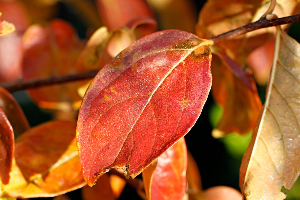 Autumn leaves persimmon tree close up