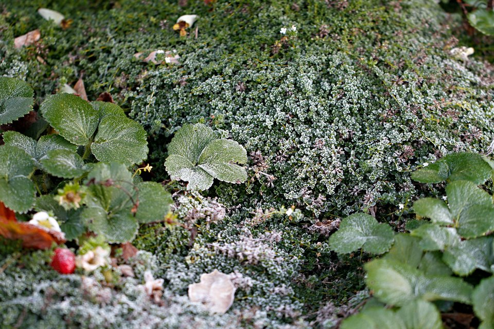 Frost groundcover plants
