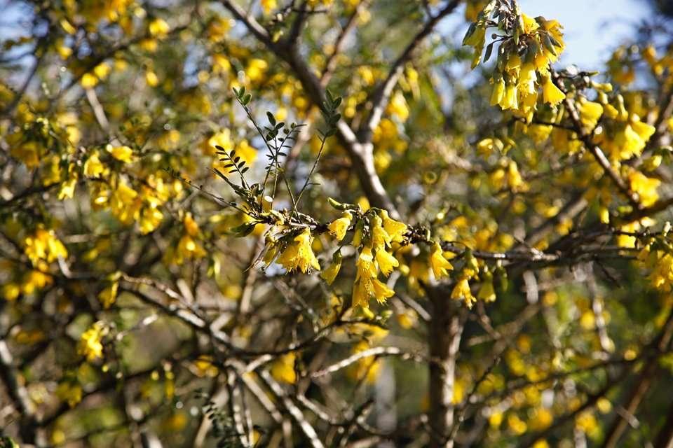 Kowhai tree in winter blossom