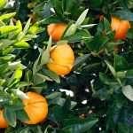 Ugli fruit on tree in winter garden